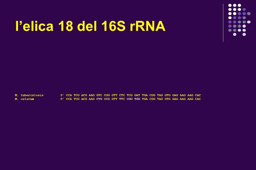 lelica 18 del 16S rRNA M. tuberculosis 5 CCA TCG ACG AAG GTC CGG GTT CTC TCG GAT TGA CGG TAG GTG GAG AAG AAG CAC