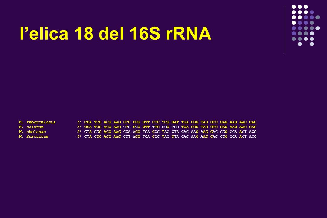 lelica 18 del 16S rRNA M.