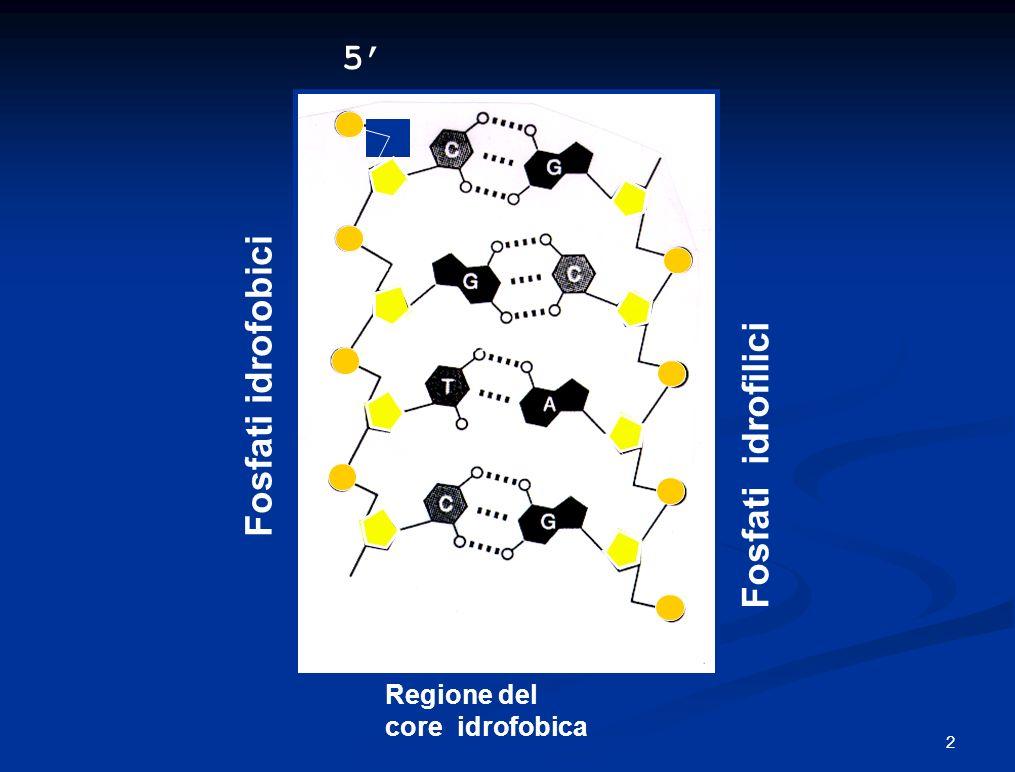 5 5 3 3 Regione del core idrofobica Fosfati idrofobici Fosfati idrofilici 2