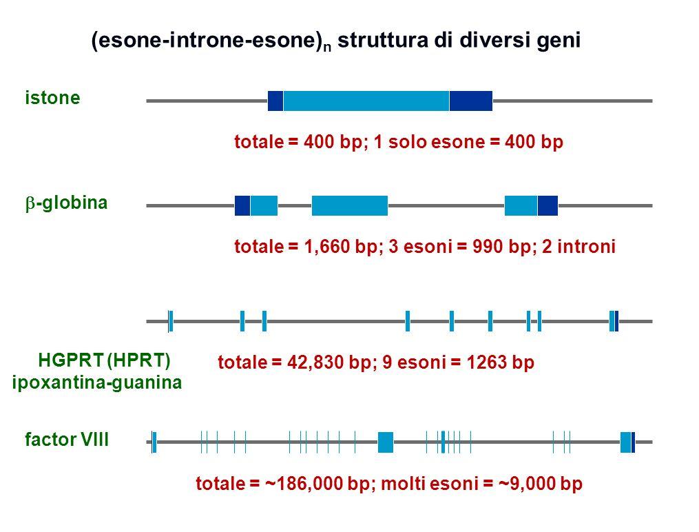(esone-introne-esone) n struttura di diversi geni -globina HGPRT (HPRT) ipoxantina-guanina totale = 1,660 bp; 3 esoni = 990 bp; 2 introni istone factor VIII totale = 400 bp; 1 solo esone = 400 bp totale = 42,830 bp; 9 esoni = 1263 bp totale = ~186,000 bp; molti esoni = ~9,000 bp 22