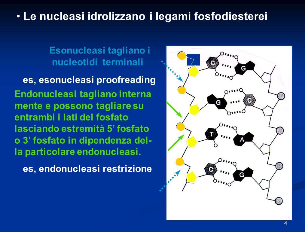 Le nucleasi idrolizzano i legami fosfodiesterei Endonucleasi tagliano interna mente e possono tagliare su entrambi i lati del fosfato lasciando estremità 5 fosfato o 3 fosfato in dipendenza del- la particolare endonucleasi.