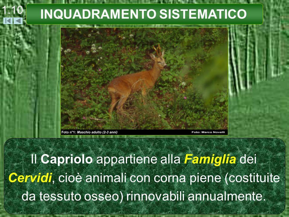 1.10 Il Capriolo appartiene alla Famiglia dei Cervidi, cioè animali con corna piene (costituite da tessuto osseo) rinnovabili annualmente. INQUADRAMEN