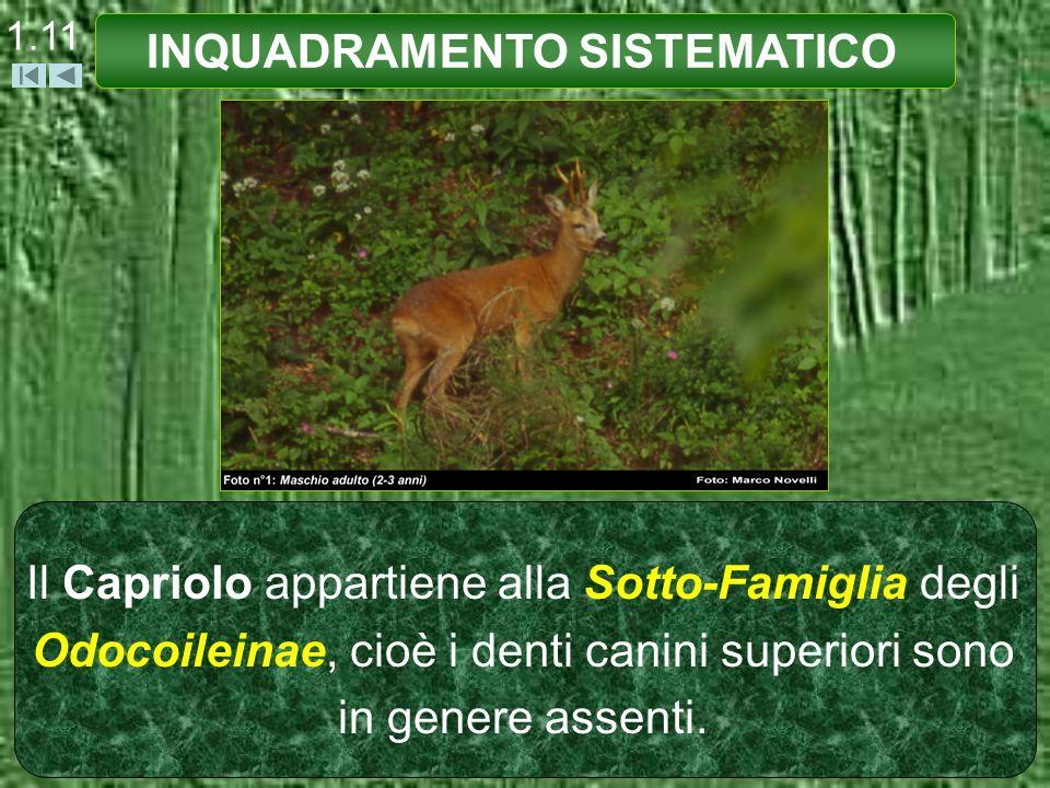 Il Capriolo appartiene alla Sotto-Famiglia degli Odocoileinae, cioè i denti canini superiori sono in genere assenti. INQUADRAMENTO SISTEMATICO 1.11