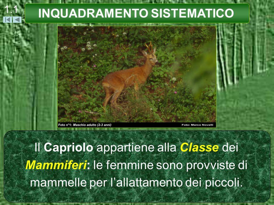 1.1 Il Capriolo appartiene alla Classe dei Mammiferi: le femmine sono provviste di mammelle per lallattamento dei piccoli. INQUADRAMENTO SISTEMATICO
