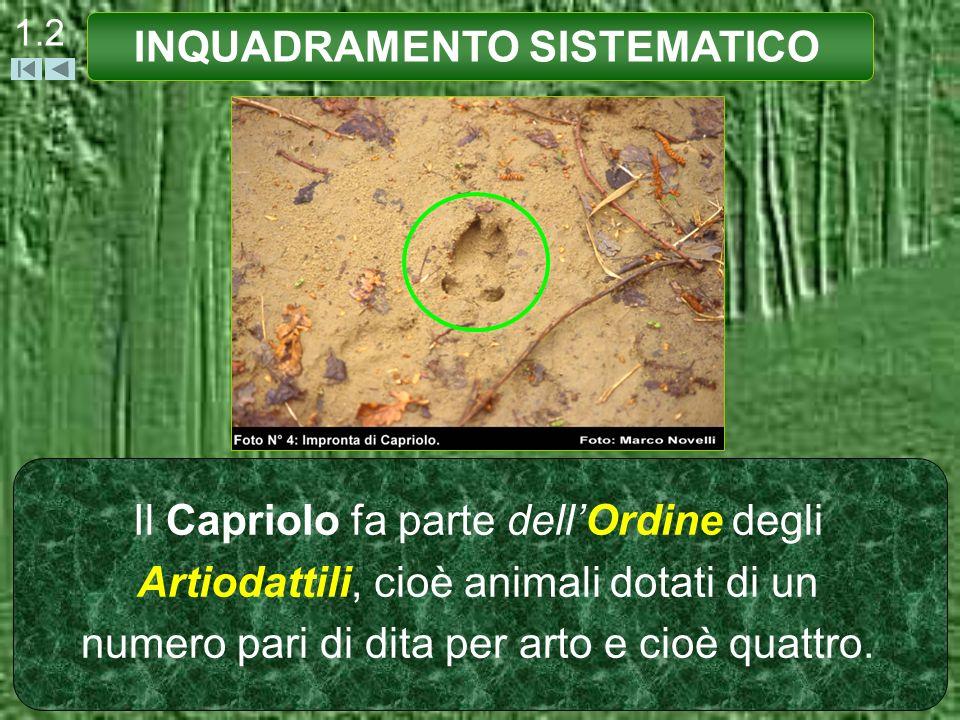 1.2 Il Capriolo fa parte dellOrdine degli Artiodattili, cioè animali dotati di un numero pari di dita per arto e cioè quattro. INQUADRAMENTO SISTEMATI