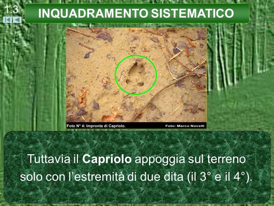 1.3 Tuttavia il Capriolo appoggia sul terreno solo con lestremità di due dita (il 3° e il 4°). INQUADRAMENTO SISTEMATICO