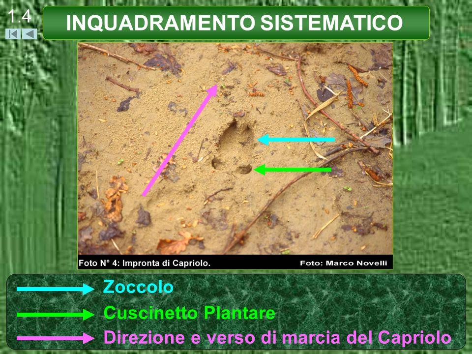 1.4 INQUADRAMENTO SISTEMATICO Zoccolo Cuscinetto Plantare Direzione e verso di marcia del Capriolo