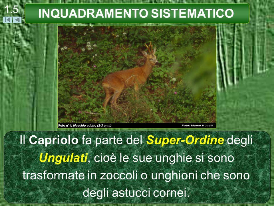 1.5 Il Capriolo fa parte del Super-Ordine degli Ungulati, cioè le sue unghie si sono trasformate in zoccoli o unghioni che sono degli astucci cornei.