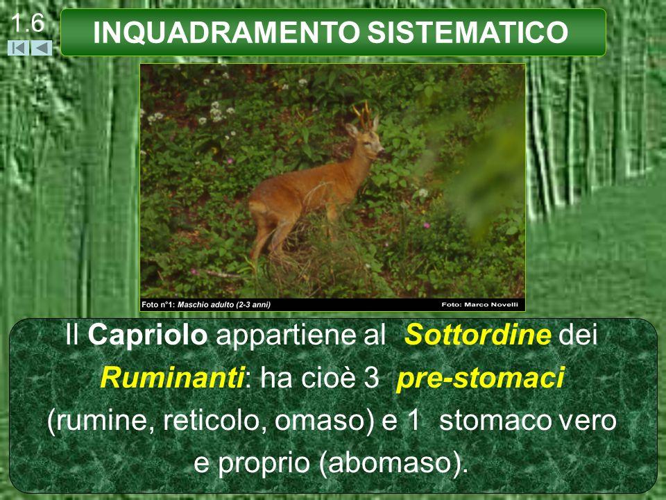 1.6 Il Capriolo appartiene al Sottordine dei Ruminanti: ha cioè 3 pre-stomaci (rumine, reticolo, omaso) e 1 stomaco vero e proprio (abomaso). INQUADRA
