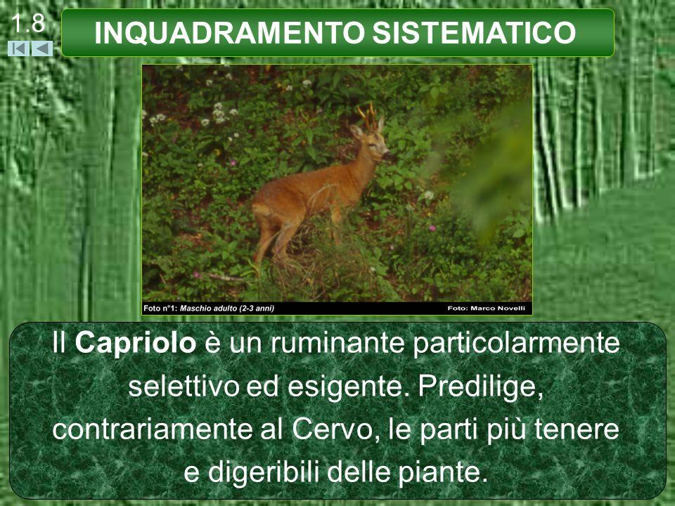 1.8 Il Capriolo è un ruminante particolarmente selettivo ed esigente. Predilige, contrariamente al Cervo, le parti più tenere e digeribili delle piant