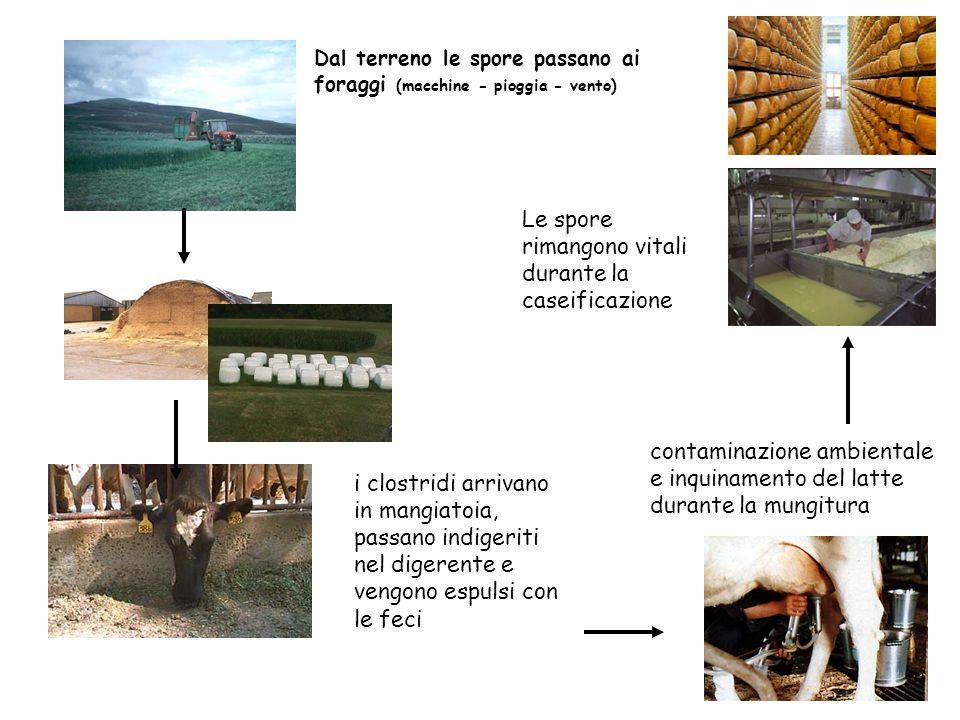 37 I clostridi sono abbondanti nel terreno Dal terreno le spore passano (attraverso pioggia, vento, macchine) ai foraggi Sviluppano negli insilati mal
