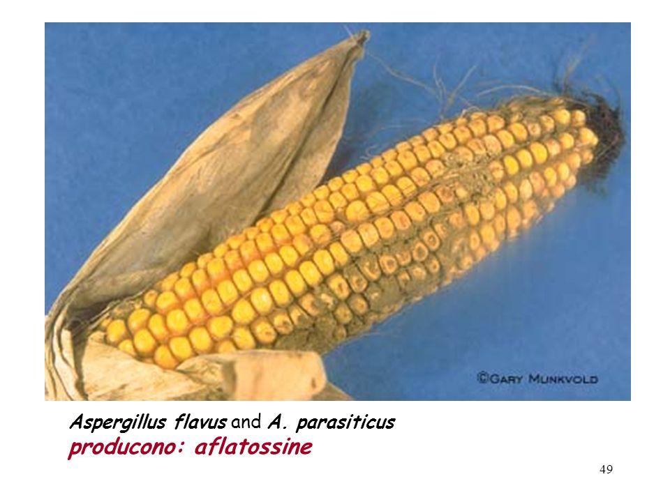 48 I prodotti più soggetti alle infezioni di muffe tossigene sono i cereali: mais frumento sorgo orzo avena Tra i cereali il mais è il prodotto maggio