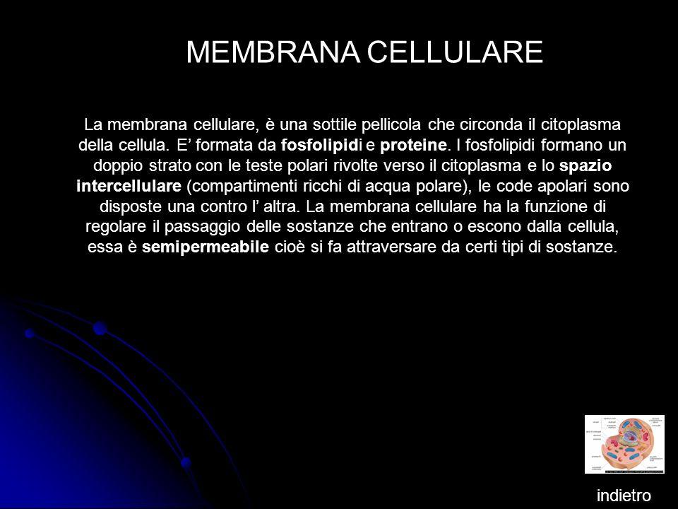 MEMBRANA CELLULARE La membrana cellulare, è una sottile pellicola che circonda il citoplasma della cellula. E formata da fosfolipidi e proteine. I fos