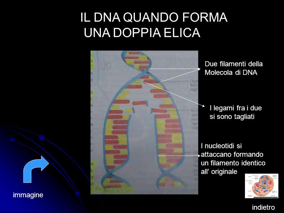 IL DNA QUANDO FORMA UNA DOPPIA ELICA Due filamenti della Molecola di DNA I legami fra i due si sono tagliati I nucleotidi si attaccano formando un fil