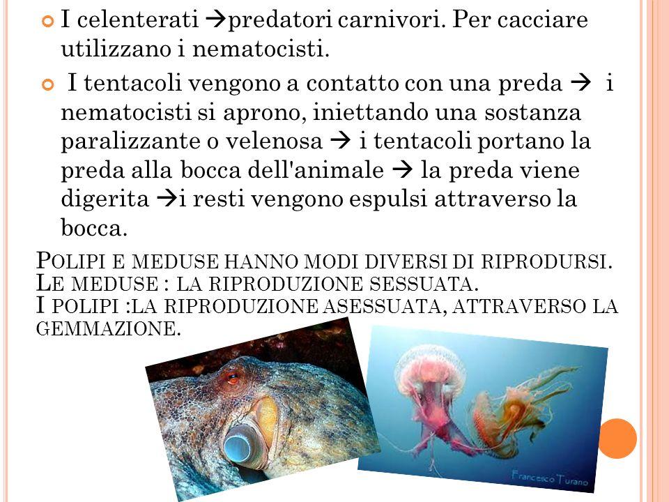 I celenterati predatori carnivori. Per cacciare utilizzano i nematocisti. I tentacoli vengono a contatto con una preda i nematocisti si aprono, iniett
