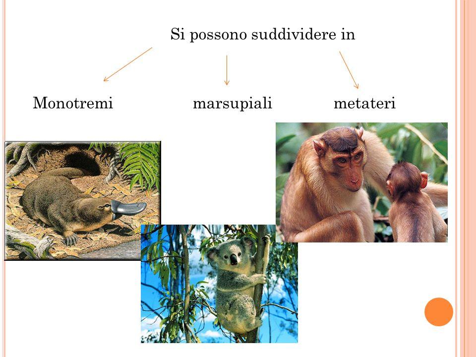 Si possono suddividere in Monotremi marsupiali metateri