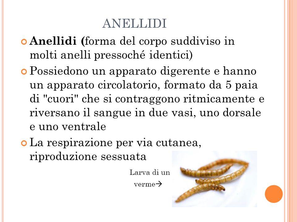 ANELLIDI Anellidi ( forma del corpo suddiviso in molti anelli pressoché identici) Possiedono un apparato digerente e hanno un apparato circolatorio, f