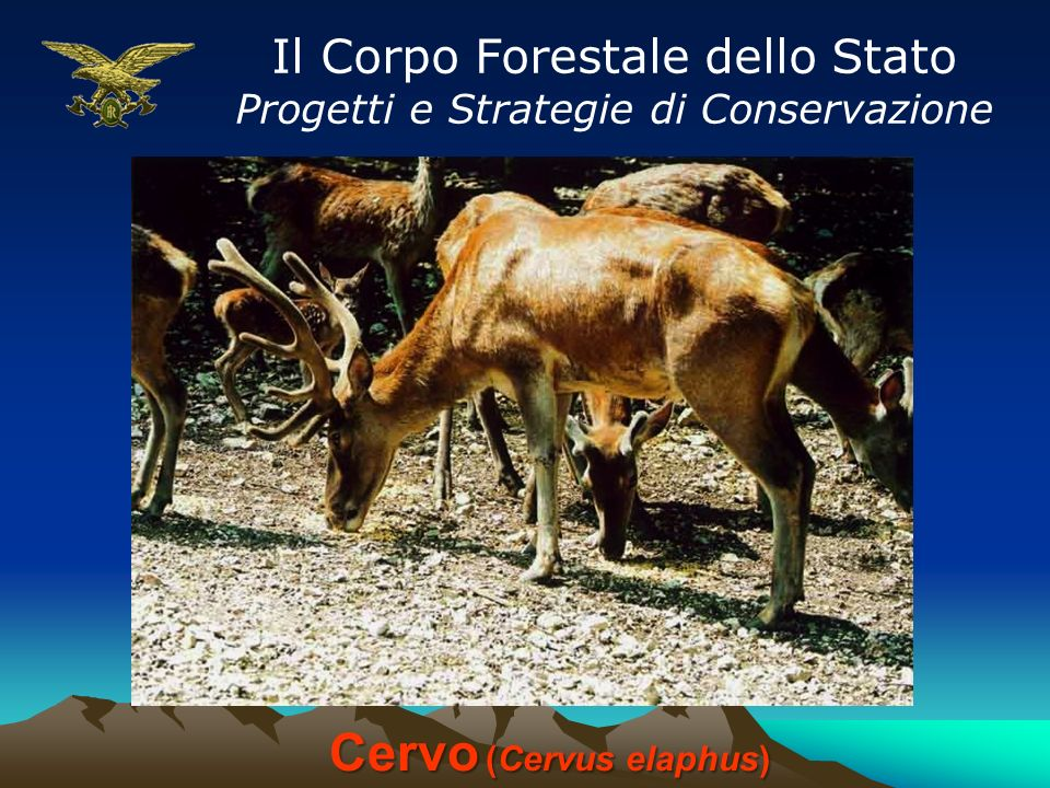 Il Corpo Forestale dello Stato Progetti e Strategie di Conservazione Cervo (Cervus elaphus)