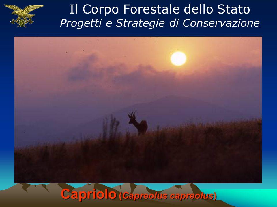 Capriolo (Capreolus capreolus) Il Corpo Forestale dello Stato Progetti e Strategie di Conservazione