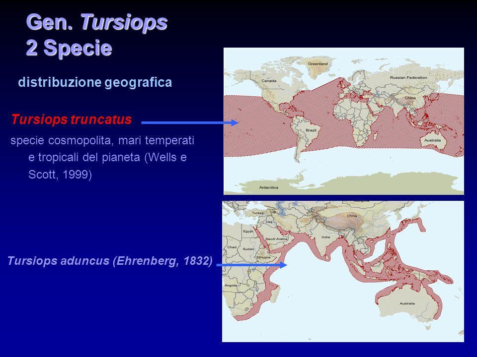 Tursiops truncatus mole grande e corporatura tozza due ecotipi: più piccolo e più chiaro (costiero), più grande e più scuro (pelagico).