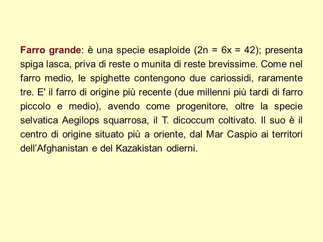 Farro grande: è una specie esaploide (2n = 6x = 42); presenta spiga lasca, priva di reste o munita di reste brevissime. Come nel farro medio, le spigh