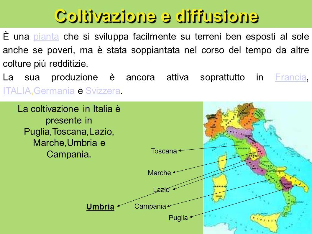 Coltivazione e diffusione È una pianta che si sviluppa facilmente su terreni ben esposti al sole anche se poveri, ma è stata soppiantata nel corso del