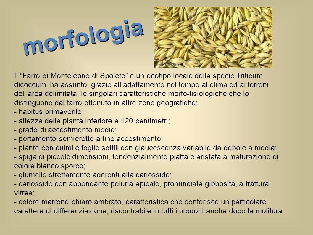Il Farro di Monteleone di Spoleto è un ecotipo locale della specie Triticum dicoccum ha assunto, grazie alladattamento nel tempo al clima ed ai terren