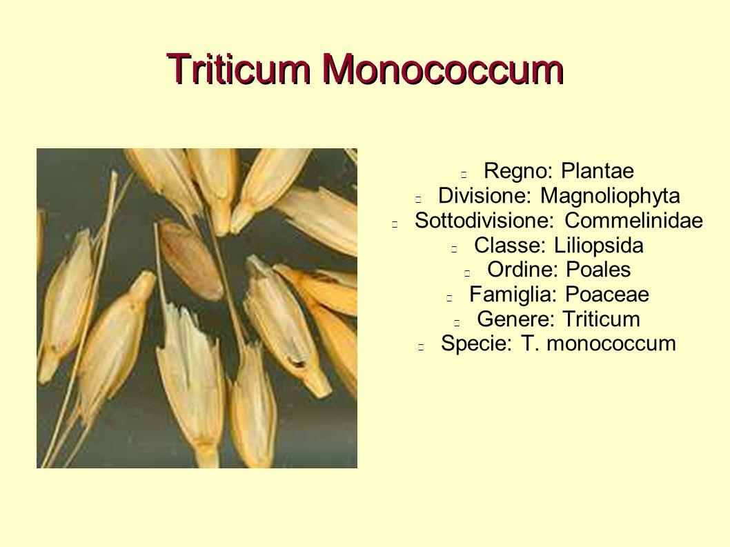 Triticum Monococcum Regno: Plantae Divisione: Magnoliophyta Sottodivisione: Commelinidae Classe: Liliopsida Ordine: Poales Famiglia: Poaceae Genere: T