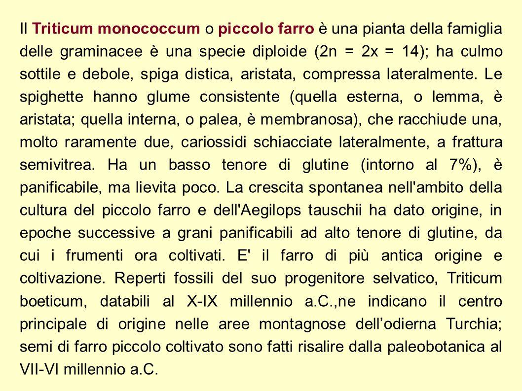 Il Triticum monococcum o piccolo farro è una pianta della famiglia delle graminacee è una specie diploide (2n = 2x = 14); ha culmo sottile e debole, s