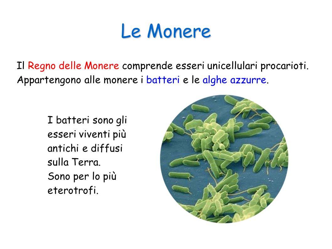 Le Monere Il Regno delle Monere comprende esseri unicellulari procarioti. Appartengono alle monere i batteri e le alghe azzurre. I batteri sono gli es