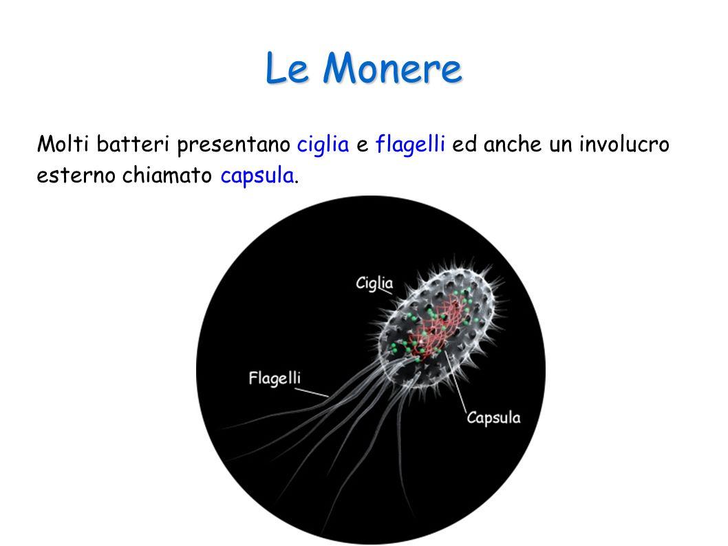 Le Monere Molti batteri presentano ciglia e flagelli ed anche un involucro esterno chiamato capsula.