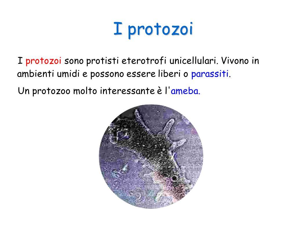 I protozoi I protozoi sono protisti eterotrofi unicellulari. Vivono in ambienti umidi e possono essere liberi o parassiti. Un protozoo molto interessa