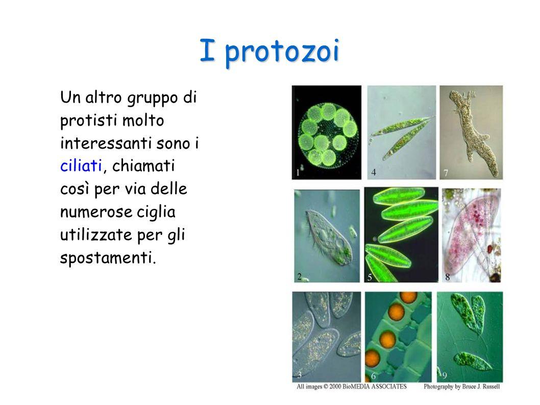 I protozoi Un altro gruppo di protisti molto interessanti sono i ciliati, chiamati così per via delle numerose ciglia utilizzate per gli spostamenti.