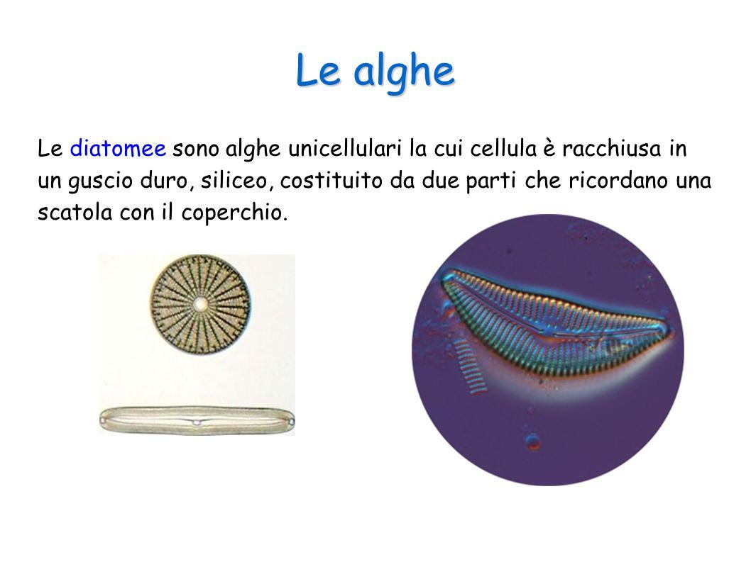 Le alghe Le diatomee sono alghe unicellulari la cui cellula è racchiusa in un guscio duro, siliceo, costituito da due parti che ricordano una scatola