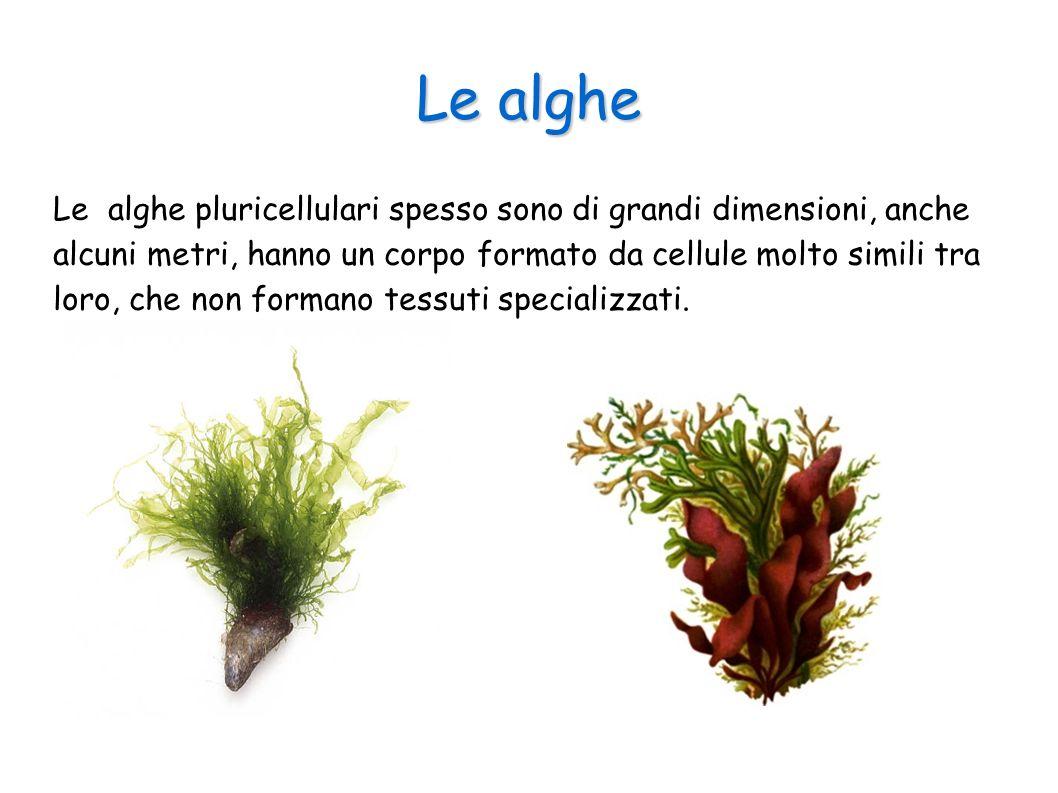 Le alghe Le alghe pluricellulari spesso sono di grandi dimensioni, anche alcuni metri, hanno un corpo formato da cellule molto simili tra loro, che no