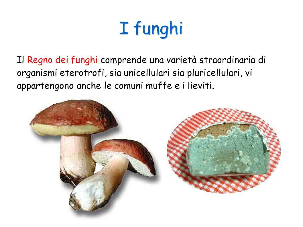 I funghi Il Regno dei funghi comprende una varietà straordinaria di organismi eterotrofi, sia unicellulari sia pluricellulari, vi appartengono anche l