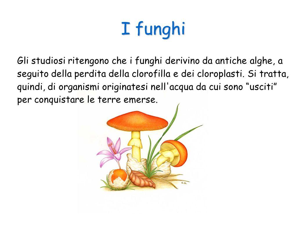 I funghi Gli studiosi ritengono che i funghi derivino da antiche alghe, a seguito della perdita della clorofilla e dei cloroplasti. Si tratta, quindi,