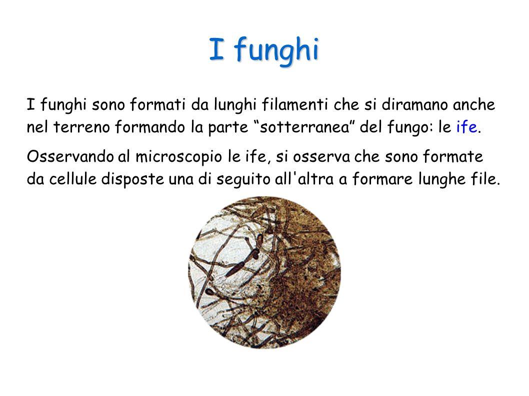 I funghi I funghi sono formati da lunghi filamenti che si diramano anche nel terreno formando la parte sotterranea del fungo: le ife. Osservando al mi