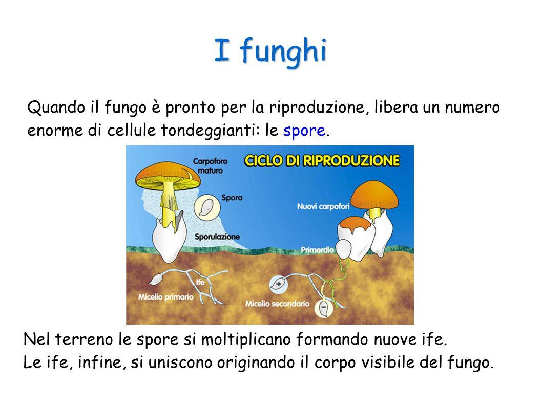 I funghi Quando il fungo è pronto per la riproduzione, libera un numero enorme di cellule tondeggianti: le spore. Nel terreno le spore si moltiplicano