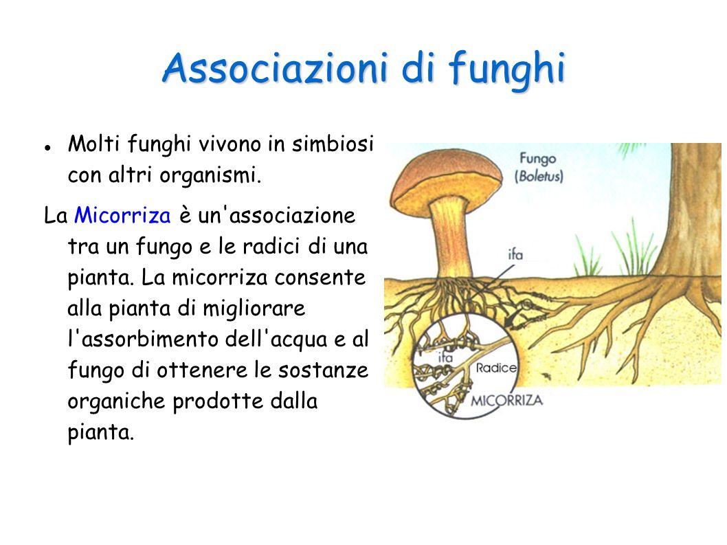 Associazioni di funghi Molti funghi vivono in simbiosi con altri organismi. La Micorriza è un'associazione tra un fungo e le radici di una pianta. La