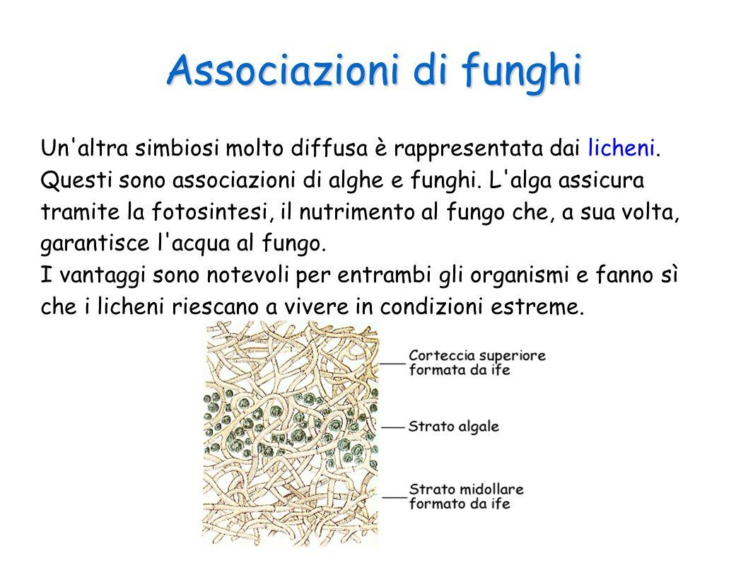 Associazioni di funghi Un'altra simbiosi molto diffusa è rappresentata dai licheni. Questi sono associazioni di alghe e funghi. L'alga assicura tramit