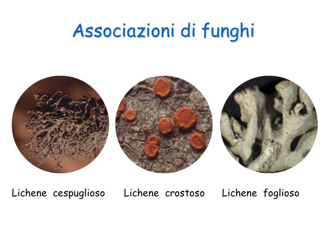 Associazioni di funghi Lichene cespugliosoLichene fogliosoLichene crostoso