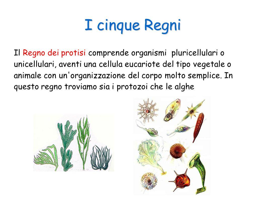 I cinque Regni Il Regno dei protisi comprende organismi pluricellulari o unicellulari, aventi una cellula eucariote del tipo vegetale o animale con un