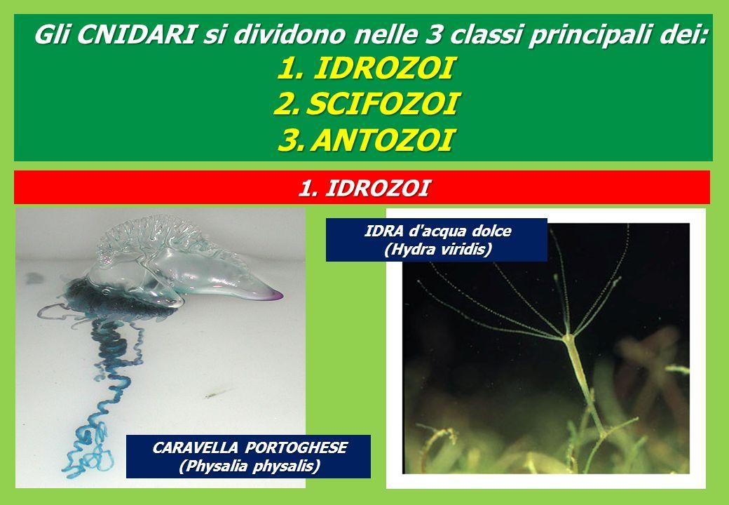 Gli CNIDARI si dividono nelle 3 classi principali dei: 1.IDROZOI 2.SCIFOZOI 3.ANTOZOI 1.