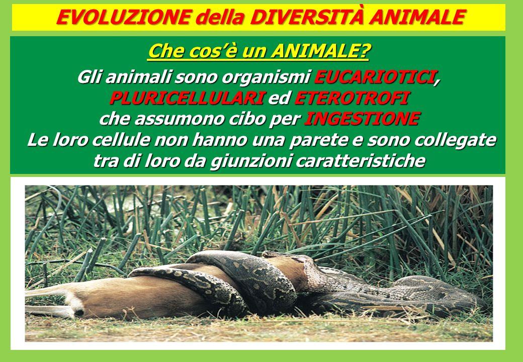 EVOLUZIONE della DIVERSITÀ ANIMALE Che cosè un ANIMALE.