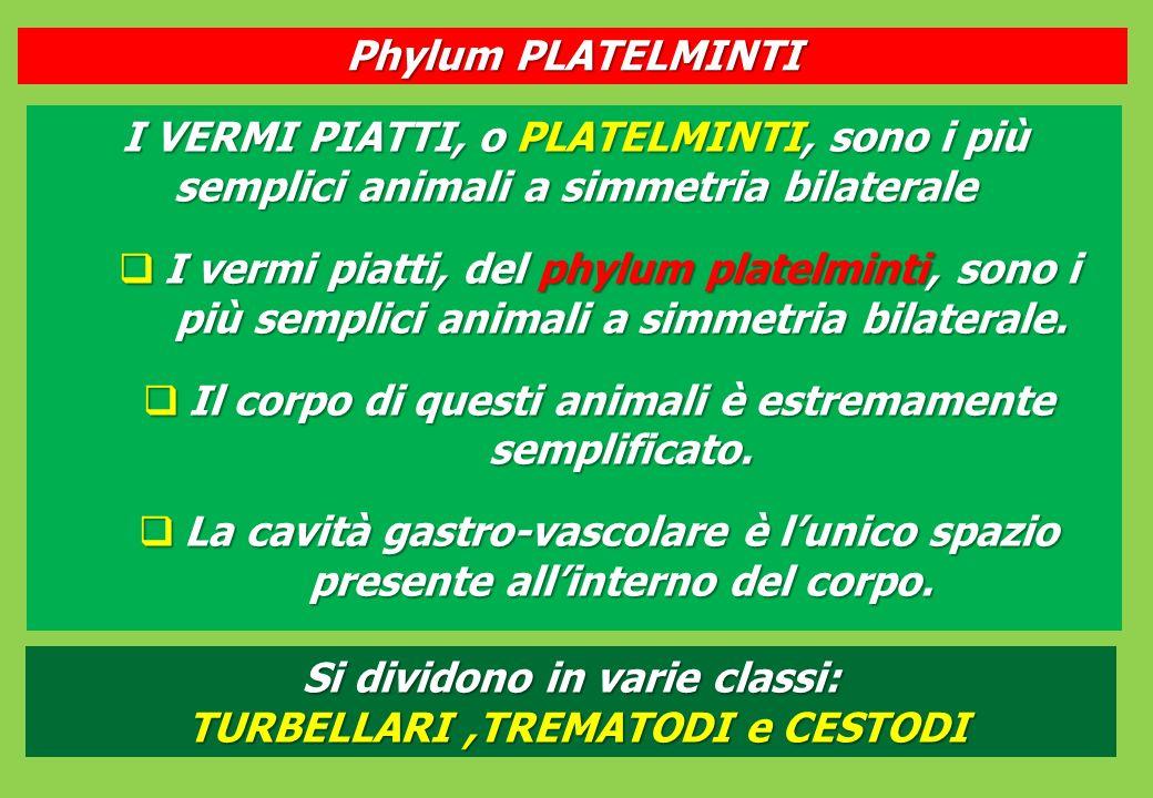 I VERMI PIATTI, o PLATELMINTI, sono i più semplici animali a simmetria bilaterale I vermi piatti, del phylum platelminti, sono i più semplici animali a simmetria bilaterale.