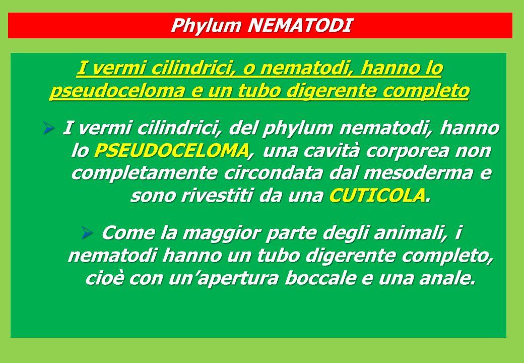 I vermi cilindrici, o nematodi, hanno lo pseudoceloma e un tubo digerente completo I vermi cilindrici, del phylum nematodi, hanno lo PSEUDOCELOMA, una cavità corporea non completamente circondata dal mesoderma e sono rivestiti da una CUTICOLA.