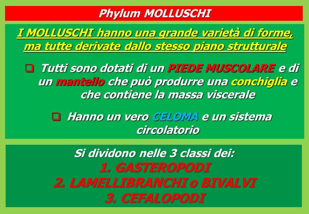 I MOLLUSCHI hanno una grande varietà di forme, ma tutte derivate dallo stesso piano strutturale Tutti sono dotati di un PIEDE MUSCOLARE e di un mantello che può produrre una conchiglia e che contiene la massa viscerale Tutti sono dotati di un PIEDE MUSCOLARE e di un mantello che può produrre una conchiglia e che contiene la massa viscerale Hanno un vero CELOMA e un sistema circolatorio Hanno un vero CELOMA e un sistema circolatorio Phylum MOLLUSCHI Si dividono nelle 3 classi dei: 1.GASTEROPODI 2.LAMELLIBRANCHI o BIVALVI 3.CEFALOPODI