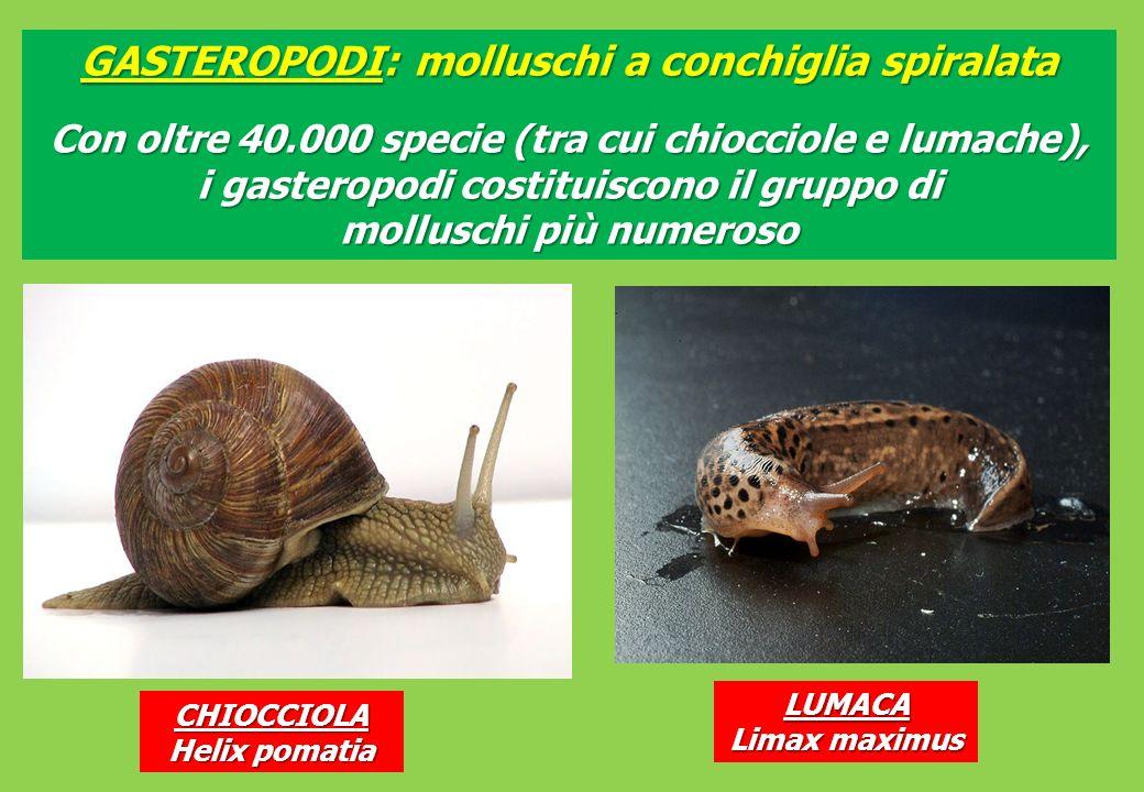 GASTEROPODI: molluschi a conchiglia spiralata Con oltre 40.000 specie (tra cui chiocciole e lumache), i gasteropodi costituiscono il gruppo di molluschi più numeroso CHIOCCIOLA Helix pomatia LUMACA Limax maximus