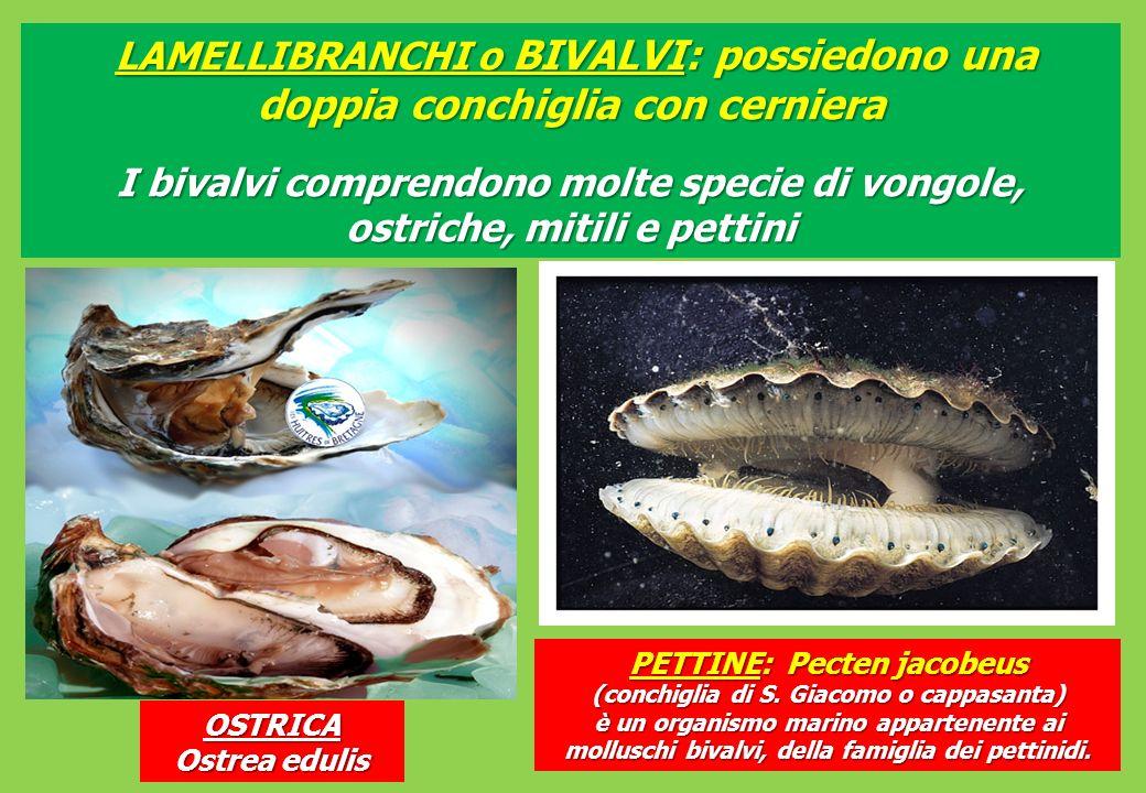 LAMELLIBRANCHI o BIVALVI: possiedono una doppia conchiglia con cerniera LAMELLIBRANCHI o BIVALVI: possiedono una doppia conchiglia con cerniera I bivalvi comprendono molte specie di vongole, ostriche, mitili e pettini OSTRICA Ostrea edulis PETTINE: Pecten jacobeus (conchiglia di S.